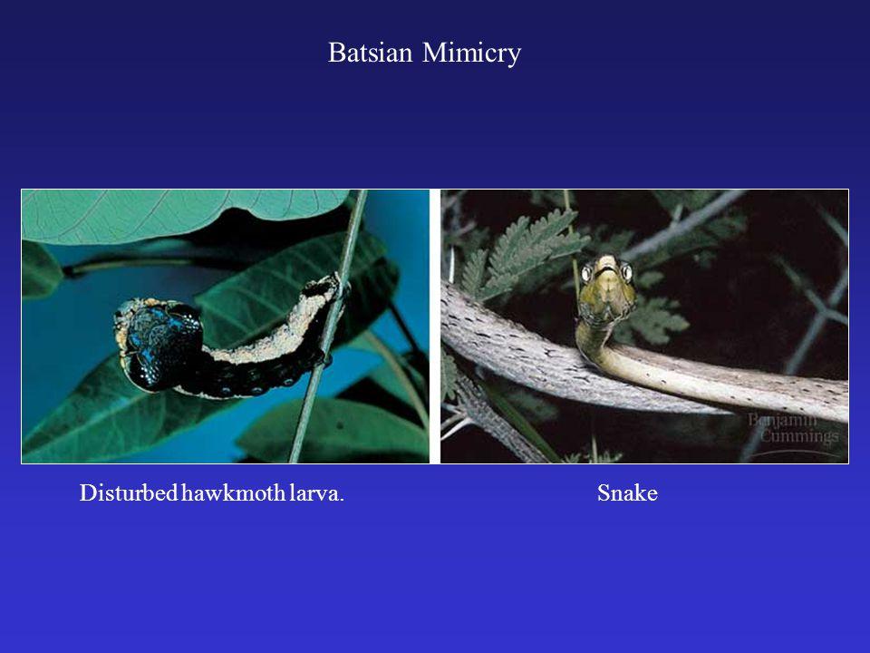 Batsian Mimicry Disturbed hawkmoth larva. Snake