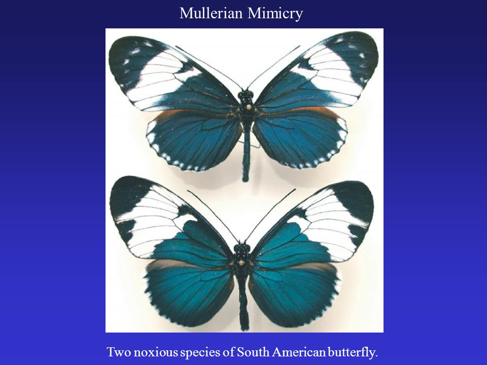 Mutualism Mutualism occurs when species interact in a mutually beneficial manner.