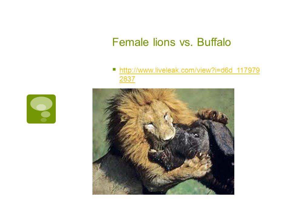 Female lions vs.