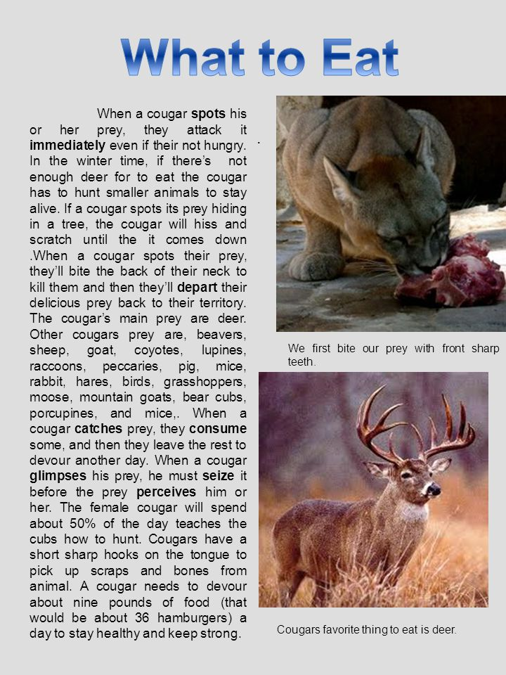 . When a cougar spots his or her prey, they attack it immediately even if their not hungry. In the winter time, if there's not enough deer for to eat