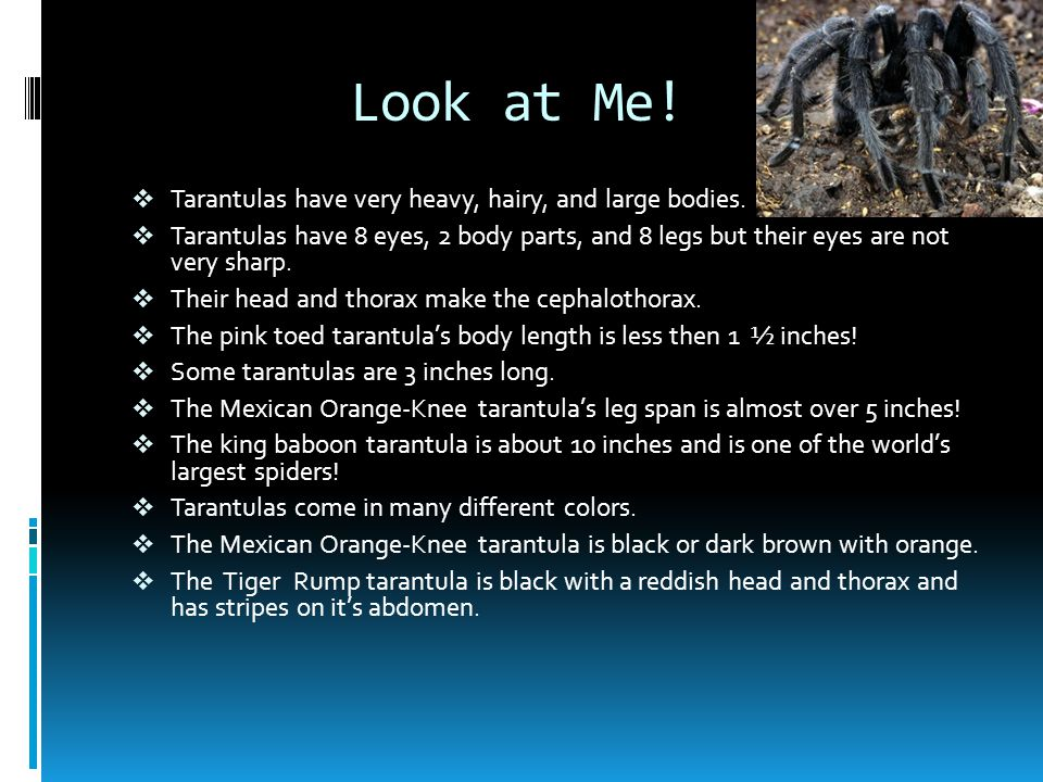 Look at Me.  Tarantulas have very heavy, hairy, and large bodies.