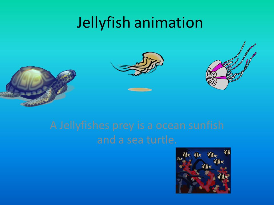 Jellyfish animation A Jellyfishes prey is a ocean sunfish and a sea turtle.