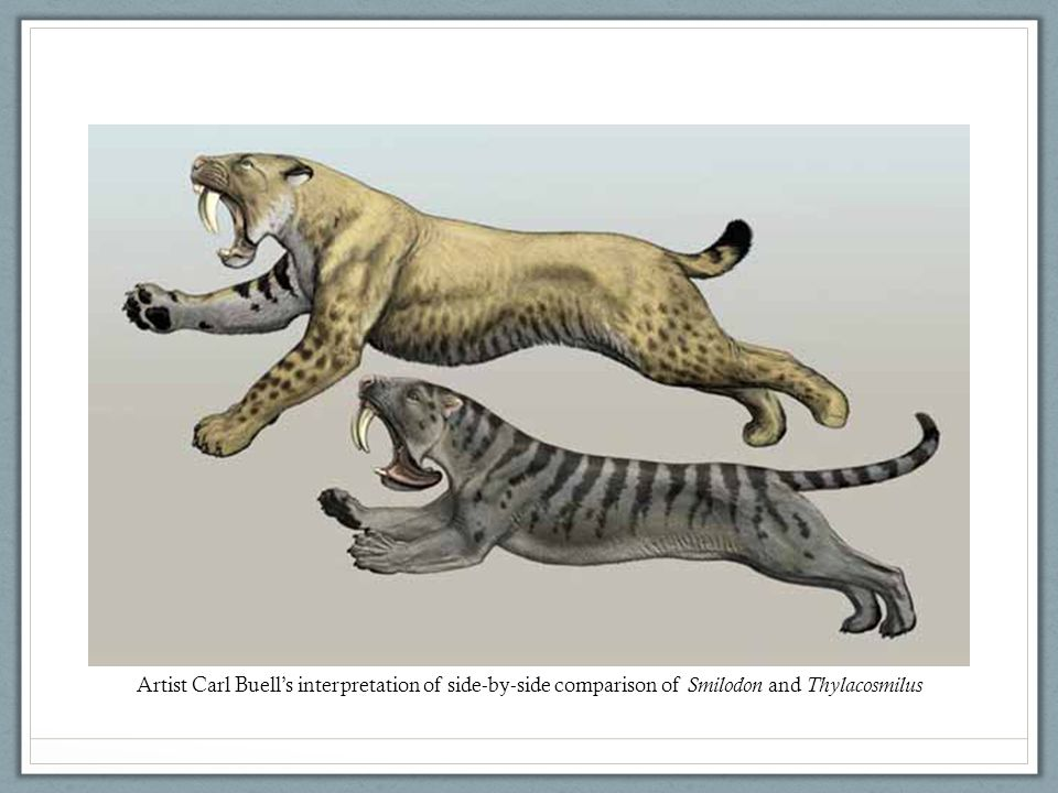 Artist Carl Buell's interpretation of side-by-side comparison of Smilodon and Thylacosmilus