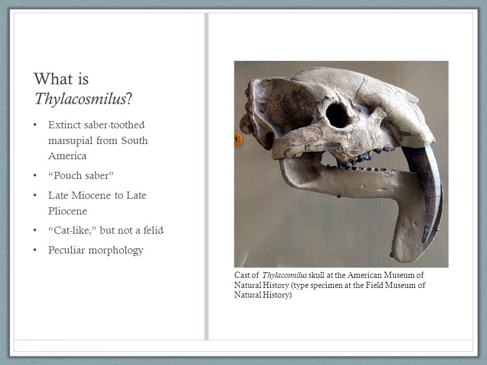 What is Thylacosmilus .