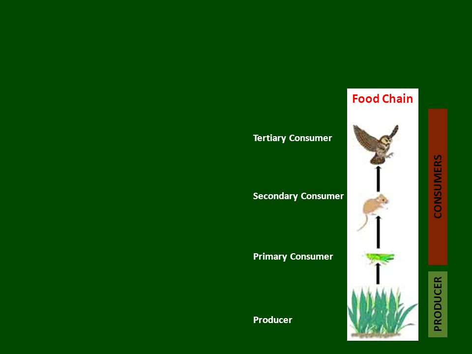 Food Chain Tertiary Consumer Primary Consumer Secondary Consumer Producer PRODUCER CONSUMERS