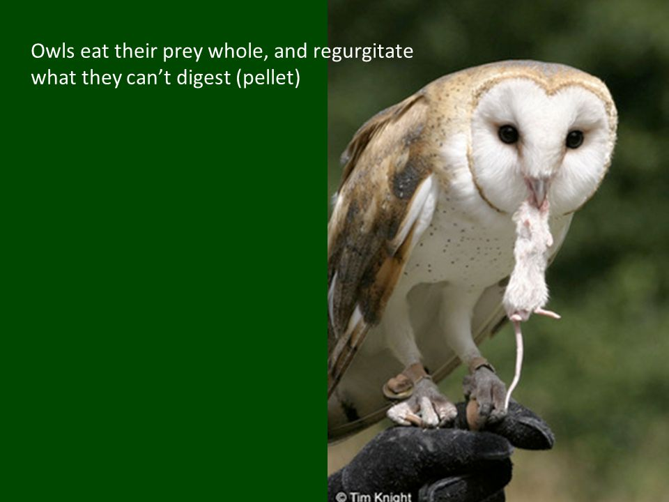 Owls eat their prey whole, and regurgitate what they can't digest (pellet)