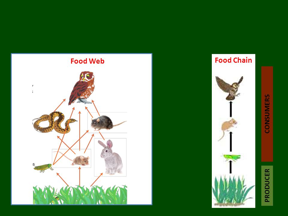 Food Web Food Chain PRODUCER CONSUMERS