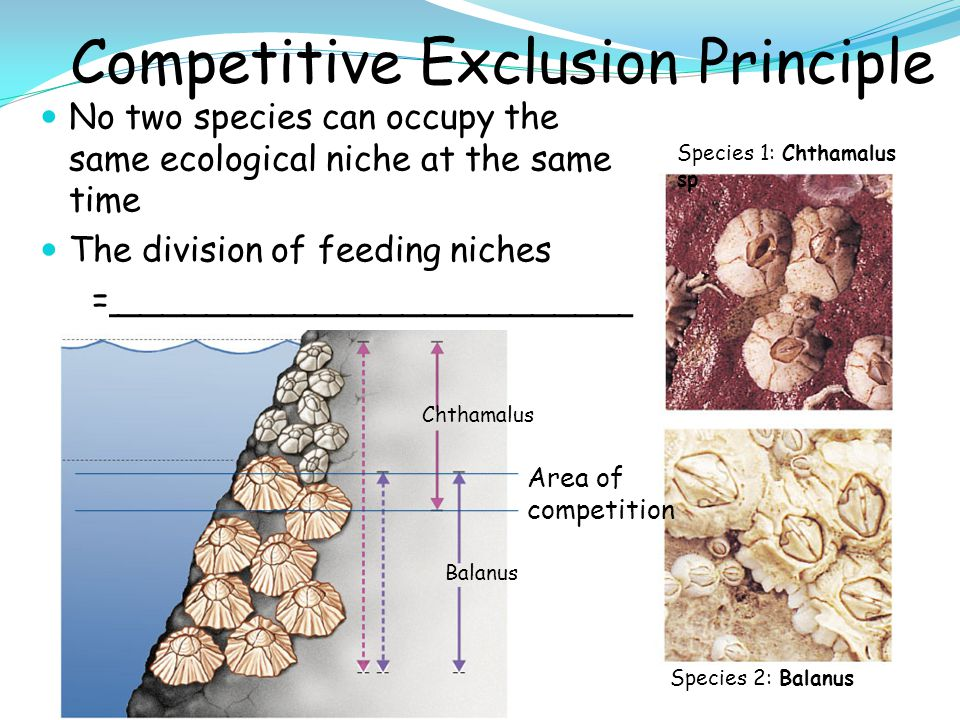 Competitive Exclusion Principle No two species can occupy the same ecological niche at the same time The division of feeding niches =________________________ Chthamalus Species 1: Chthamalus sp Species 2: Balanus Balanus Area of competition