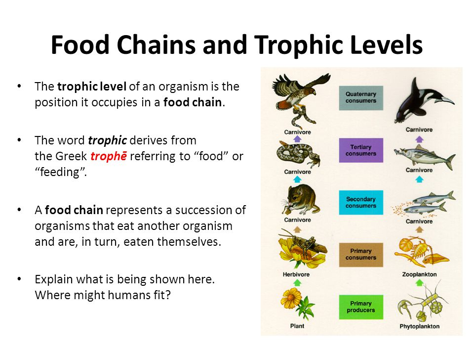 Food Chains and Trophic Levels The trophic level of an organism is the position it occupies in a food chain.