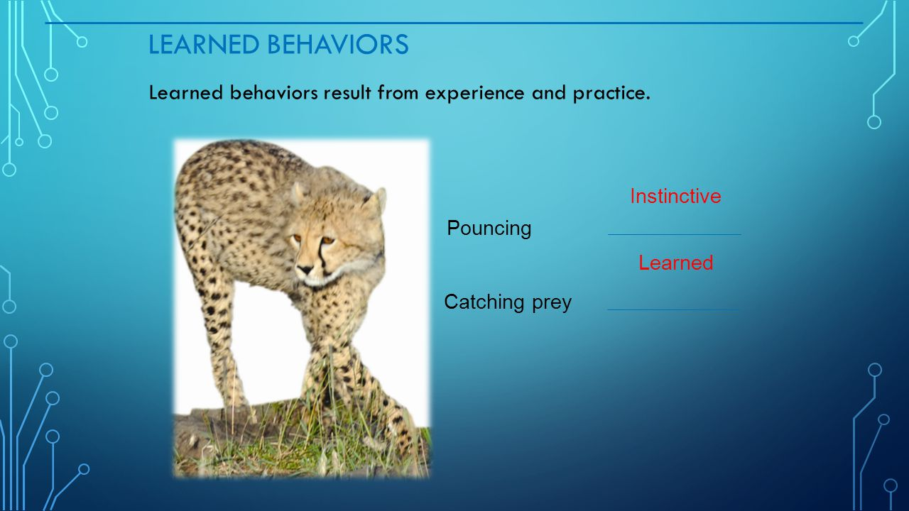 LEARNED BEHAVIORS Learned behaviors result from experience and practice. Pouncing Catching prey Instinctive Learned