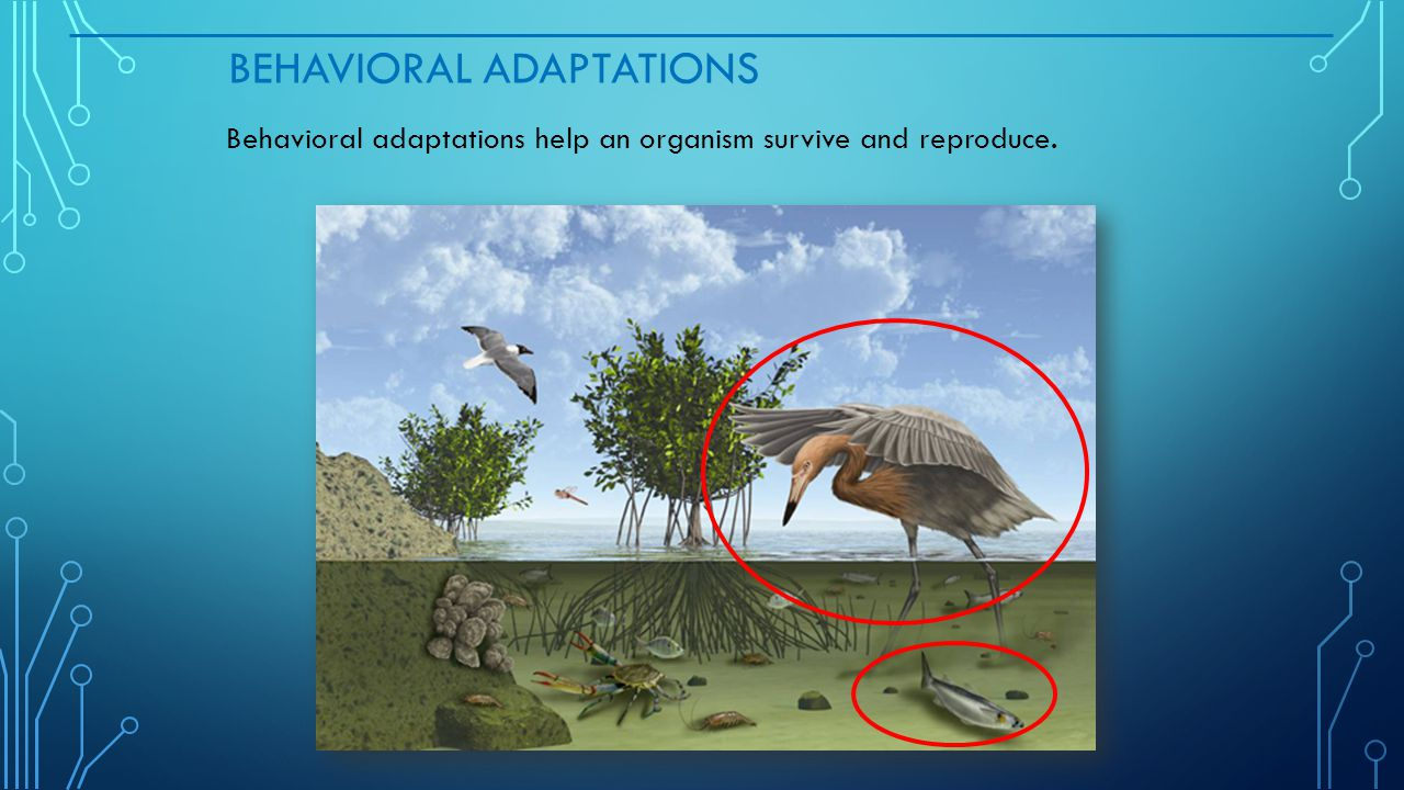 BEHAVIORAL ADAPTATIONS Behavioral adaptations help an organism survive and reproduce.