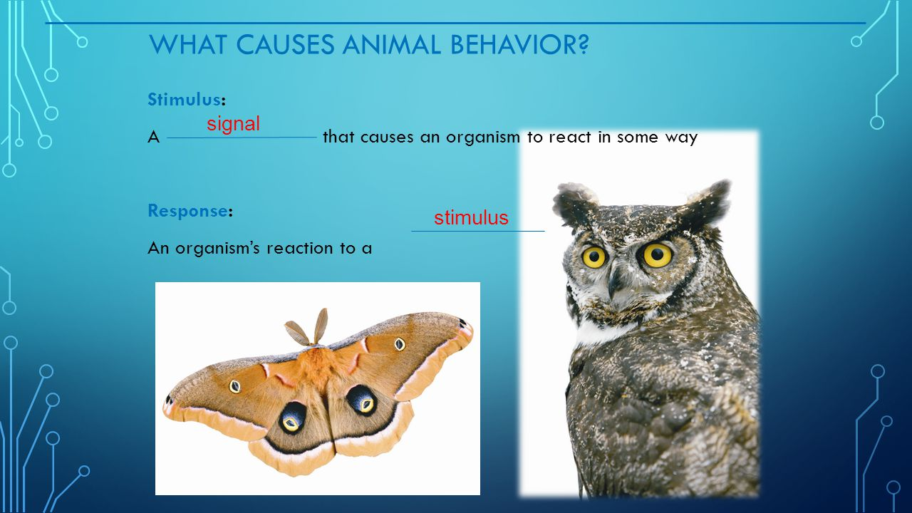 WHAT CAUSES ANIMAL BEHAVIOR? Stimulus: A that causes an organism to react in some way Response: An organism's reaction to a signal stimulus