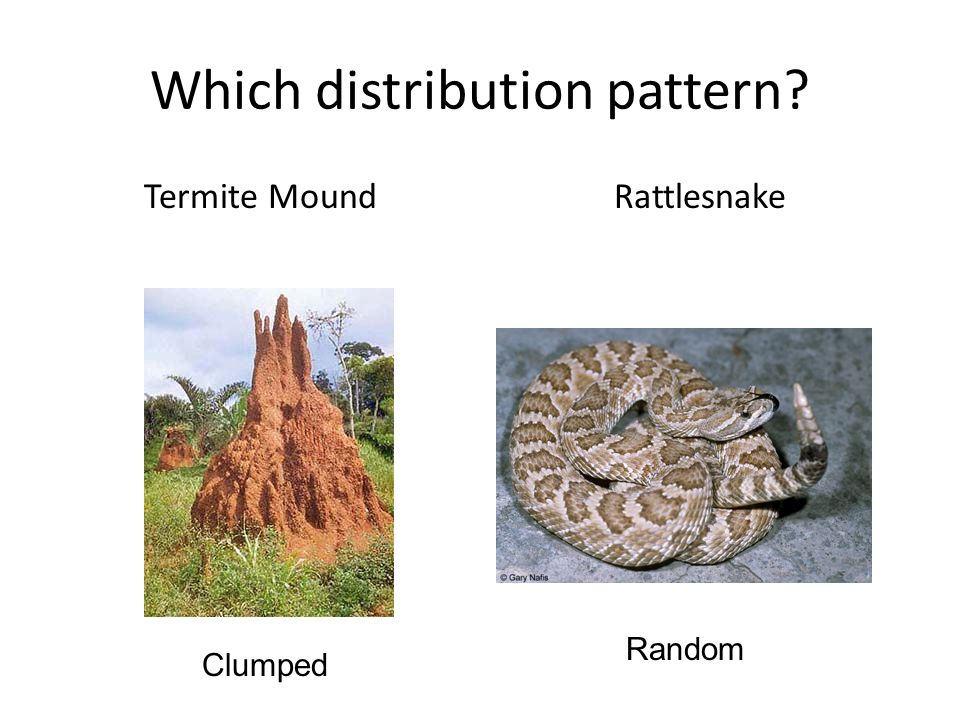 Which distribution pattern? Termite MoundRattlesnake Clumped Random