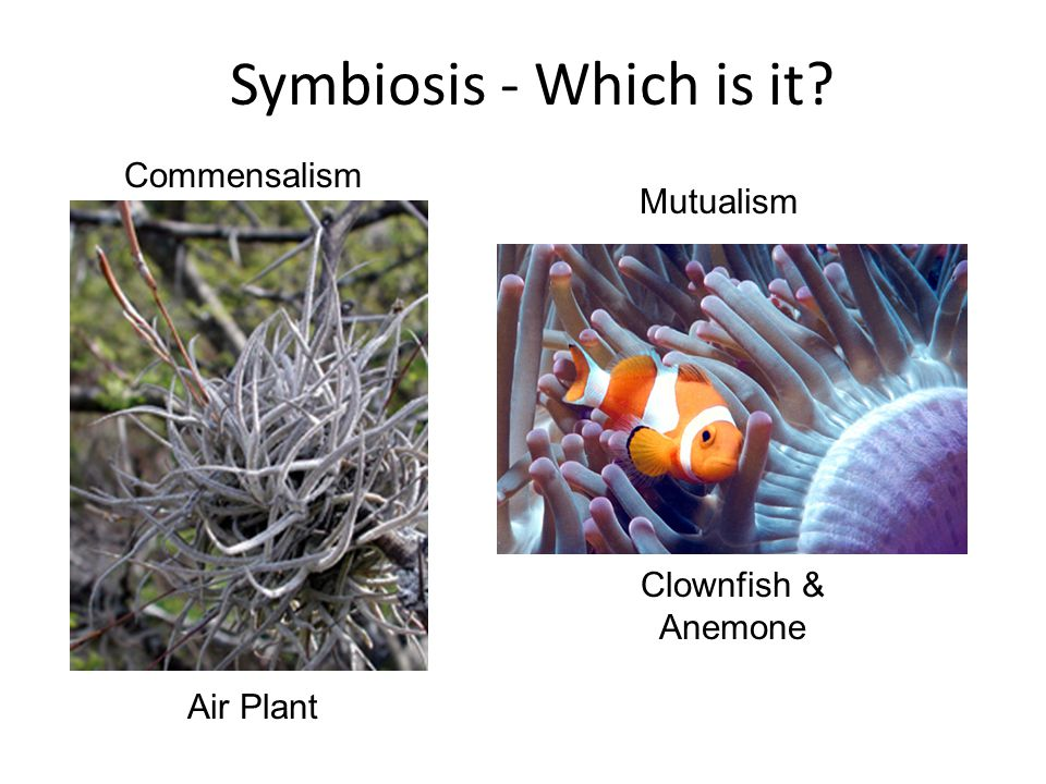 Symbiosis - Which is it? Clownfish & Anemone Air Plant Commensalism Mutualism
