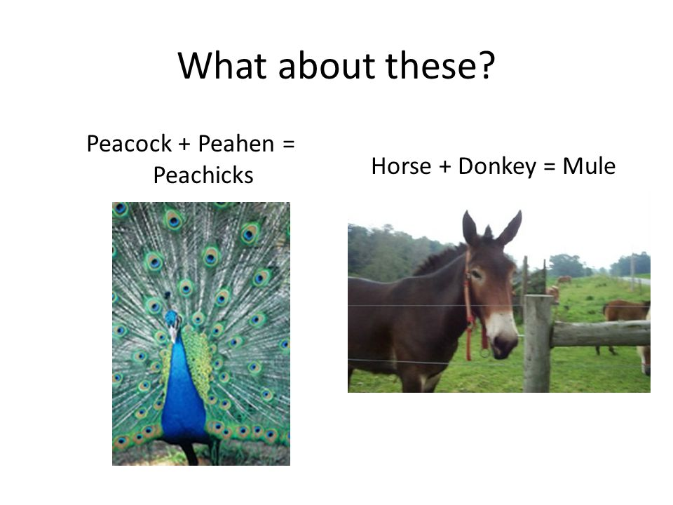 What about these? Peacock + Peahen = Peachicks Horse + Donkey = Mule