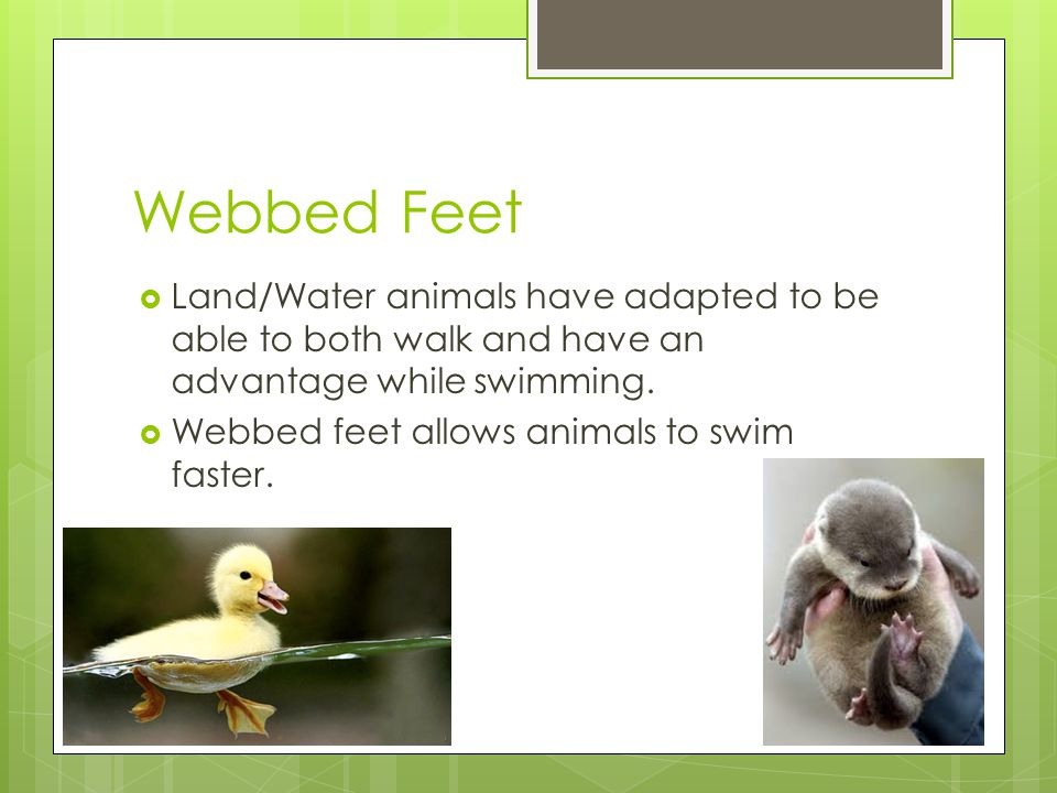Webbed Feet  Land/Water animals have adapted to be able to both walk and have an advantage while swimming.