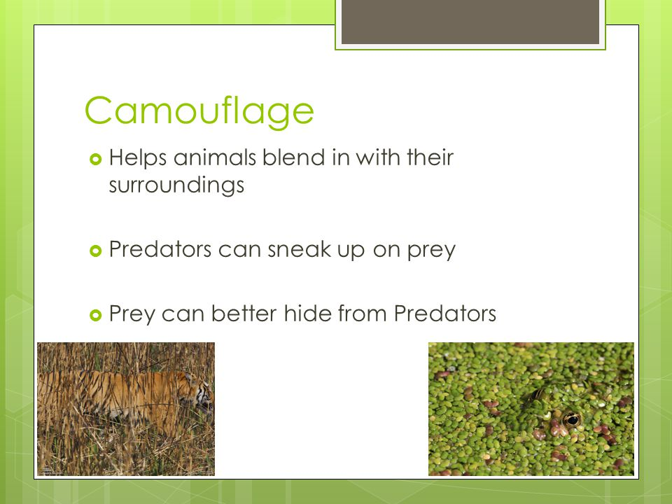 Camouflage  Helps animals blend in with their surroundings  Predators can sneak up on prey  Prey can better hide from Predators