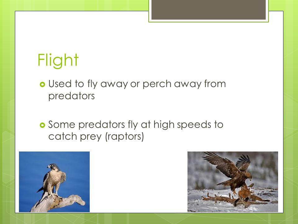Flight  Used to fly away or perch away from predators  Some predators fly at high speeds to catch prey (raptors)