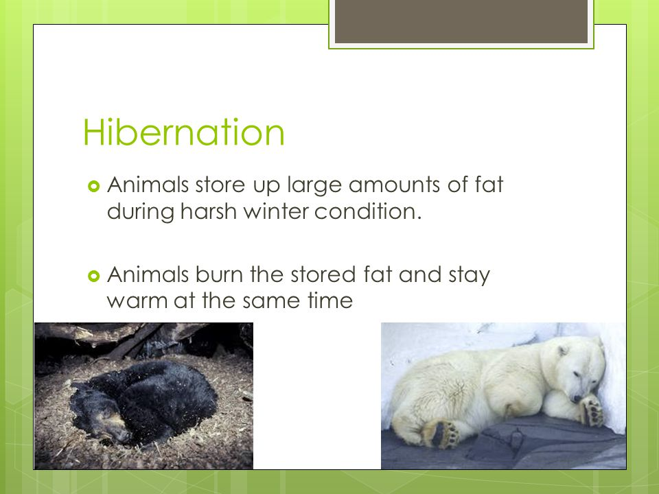 Hibernation  Animals store up large amounts of fat during harsh winter condition.