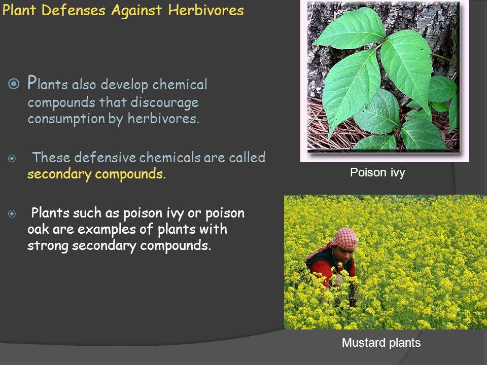 Plant Defenses Against Herbivores  P lants also develop chemical compounds that discourage consumption by herbivores.  These defensive chemicals are