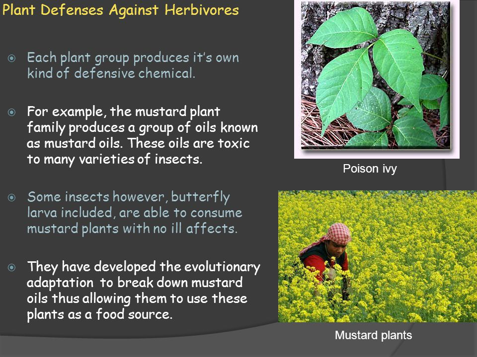 Plant Defenses Against Herbivores  Each plant group produces it's own kind of defensive chemical.  For example, the mustard plant family produces a