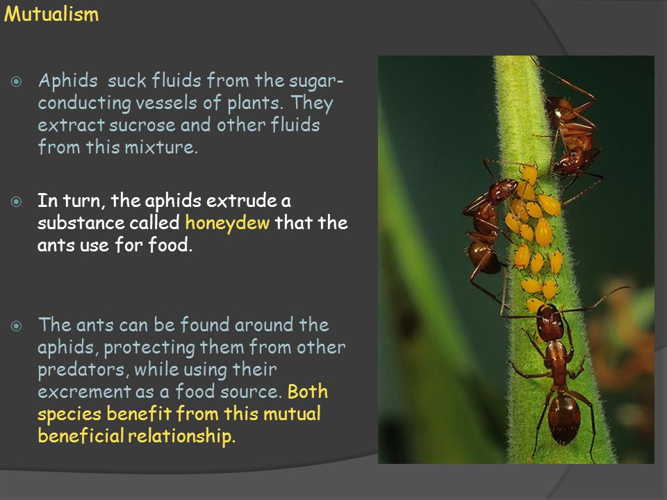 Mutualism  Aphids suck fluids from the sugar- conducting vessels of plants. They extract sucrose and other fluids from this mixture.  In turn, the a