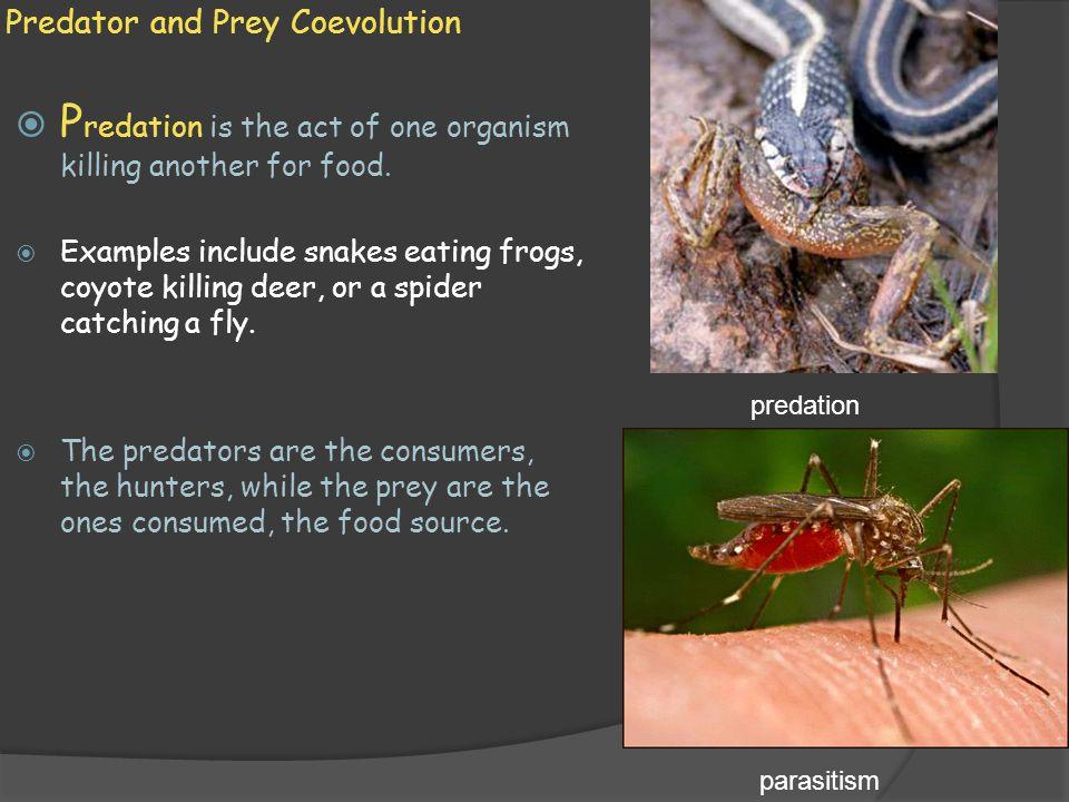 Predator and Prey Coevolution  Predators and prey both coevolve together.
