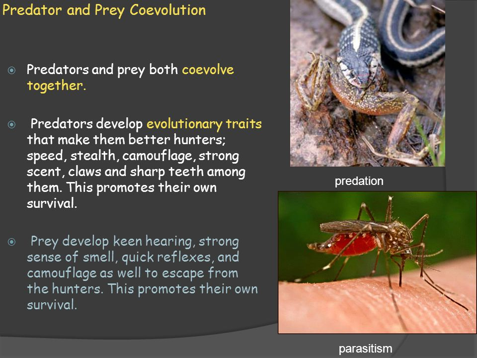Predator and Prey Coevolution  Predators and prey both coevolve together.  Predators develop evolutionary traits that make them better hunters; spee