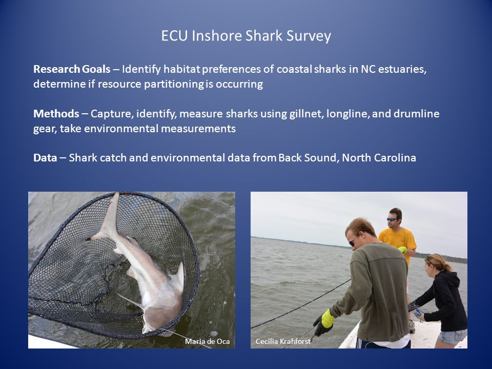 ECU Inshore Shark Survey Research Goals – Identify habitat preferences of coastal sharks in NC estuaries, determine if resource partitioning is occurr