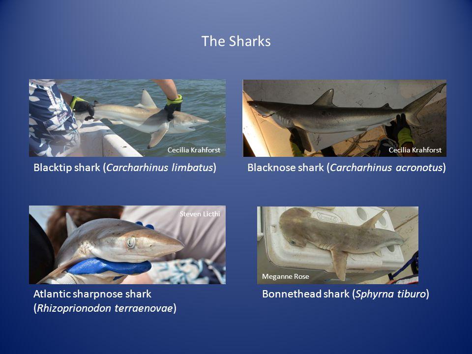 The Sharks Cecilia Krahforst Blacknose shark (Carcharhinus acronotus) Cecilia Krahforst Blacktip shark (Carcharhinus limbatus) Steven Licthi Atlantic sharpnose shark (Rhizoprionodon terraenovae) Meganne Rose Bonnethead shark (Sphyrna tiburo)