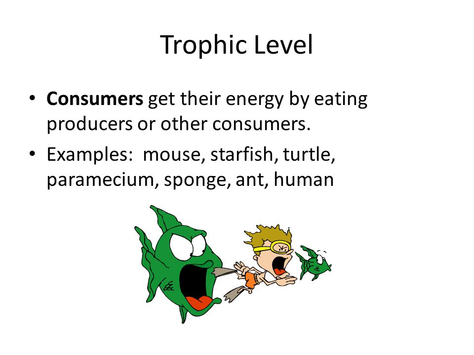 Trophic Level Consumers get their energy by eating producers or other consumers. Examples: mouse, starfish, turtle, paramecium, sponge, ant, human