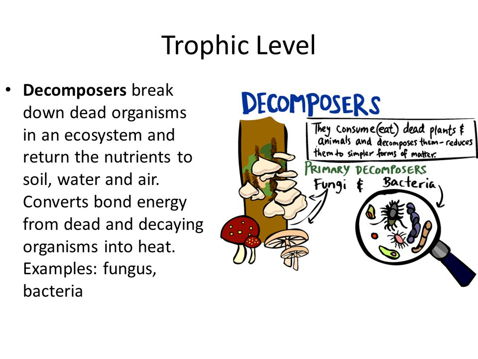 Trophic Level Decomposers break down dead organisms in an ecosystem and return the nutrients to soil, water and air. Converts bond energy from dead an