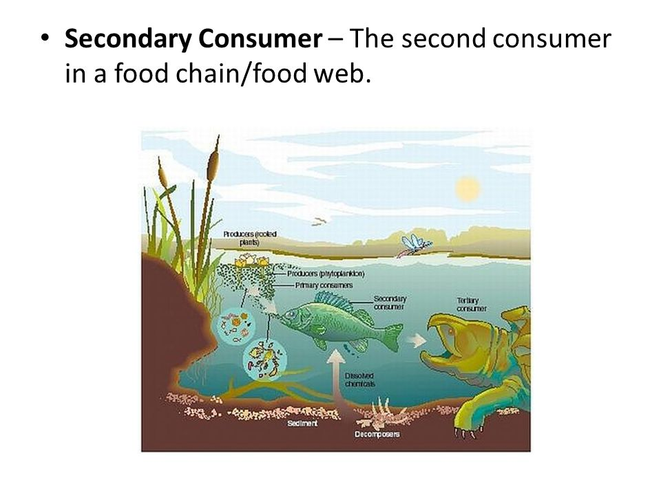 Secondary Consumer – The second consumer in a food chain/food web.