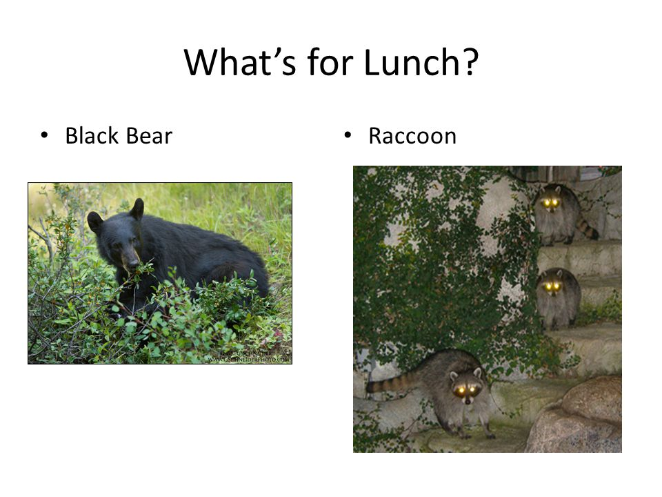 What's for Lunch? Black Bear Raccoon