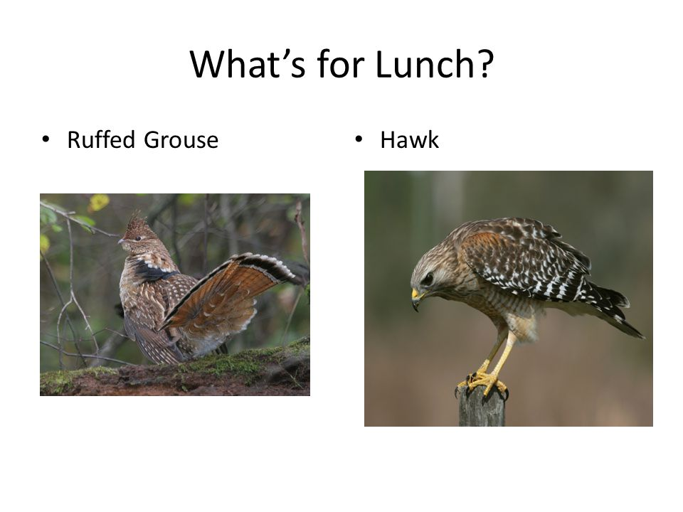 What's for Lunch? Ruffed Grouse Hawk