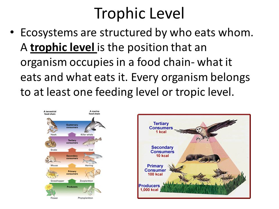 Trophic Level Ecosystems are structured by who eats whom. A trophic level is the position that an organism occupies in a food chain- what it eats and