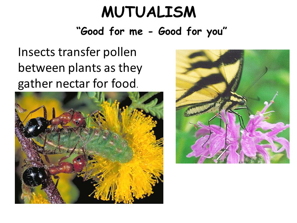 MUTUALISM Good for me - Good for you Insects transfer pollen between plants as they gather nectar for food.