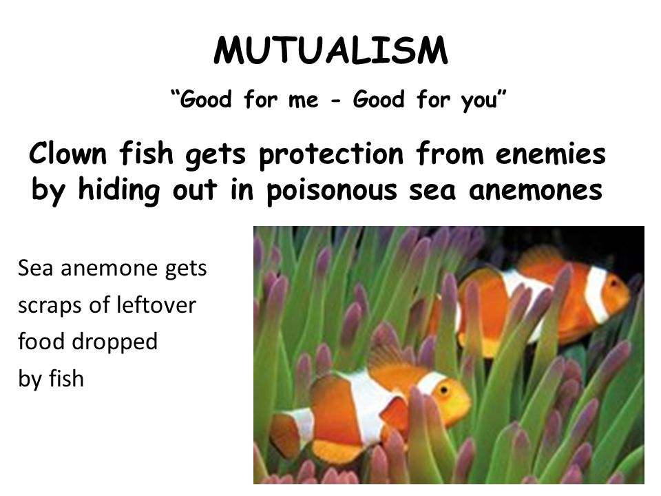 MUTUALISM Good for me - Good for you Clown fish gets protection from enemies by hiding out in poisonous sea anemones Sea anemone gets scraps of leftover food dropped by fish