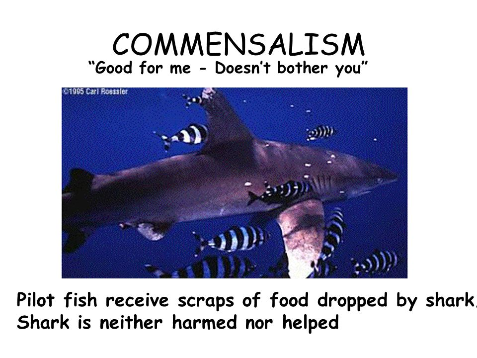 COMMENSALISM Good for me - Doesn't bother you Pilot fish receive scraps of food dropped by shark; Shark is neither harmed nor helped