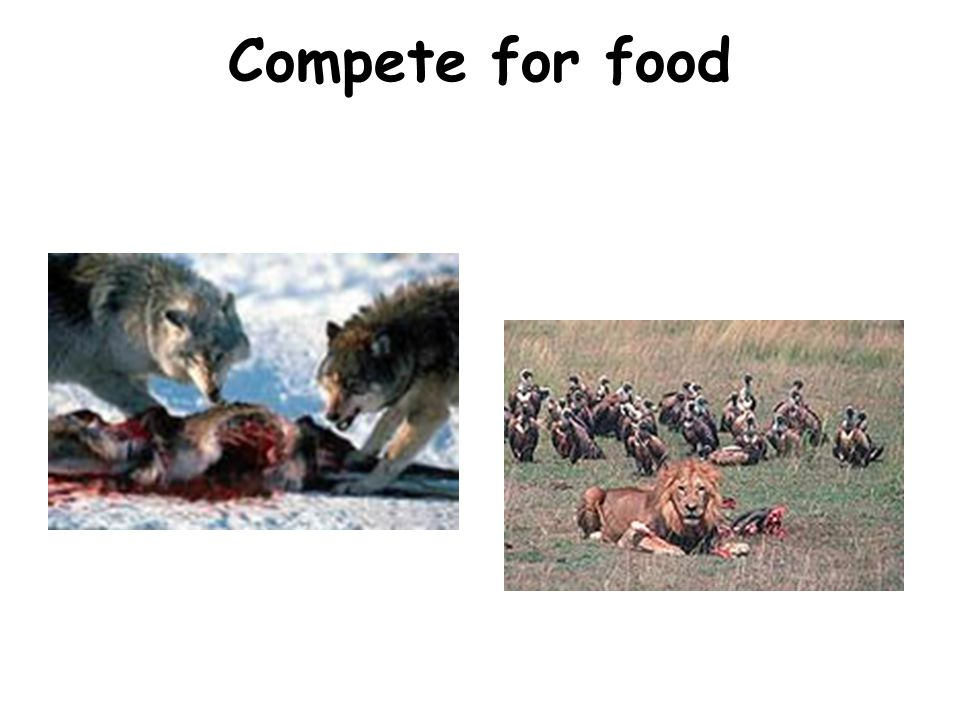 Compete for food