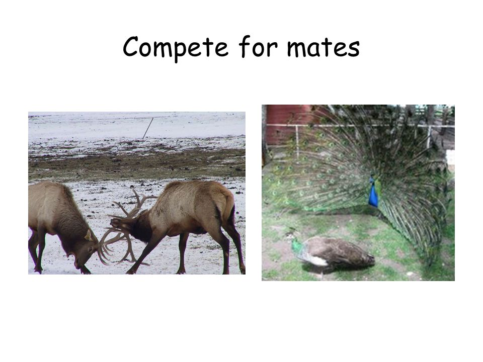 Compete for mates