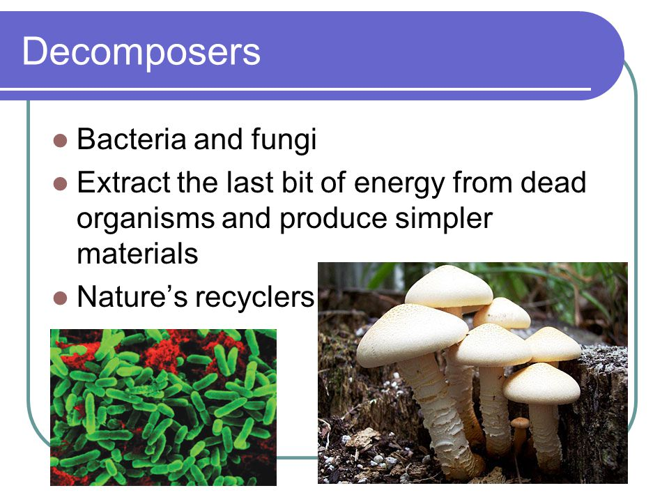 Decomposers Bacteria and fungi Extract the last bit of energy from dead organisms and produce simpler materials Nature's recyclers