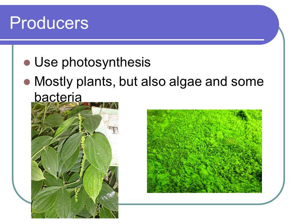 Producers Use photosynthesis Mostly plants, but also algae and some bacteria
