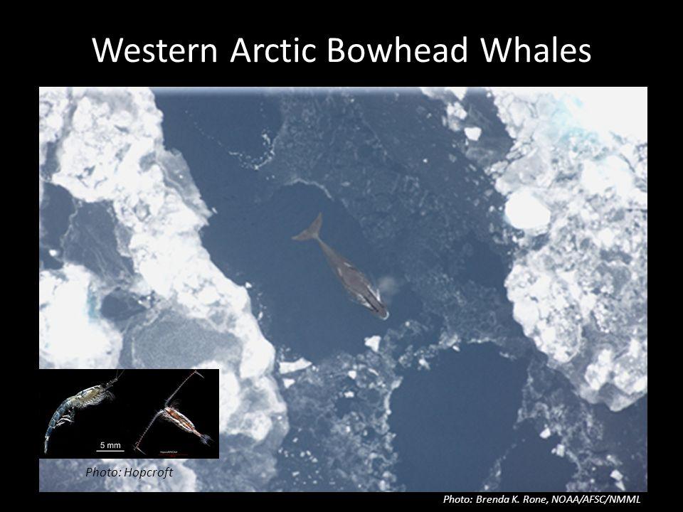 Western Arctic Bowhead Whales Photo: Brenda K. Rone, NOAA/AFSC/NMML Photo: Hopcroft
