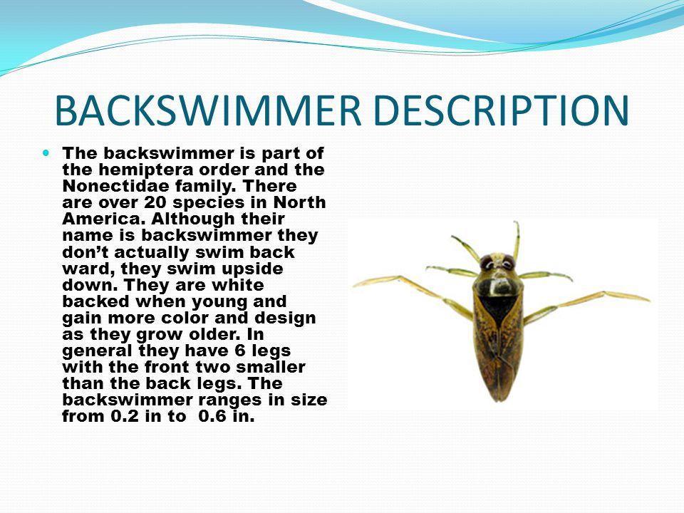 BACKSWIMMER DESCRIPTION The backswimmer is part of the hemiptera order and the Nonectidae family. There are over 20 species in North America. Although