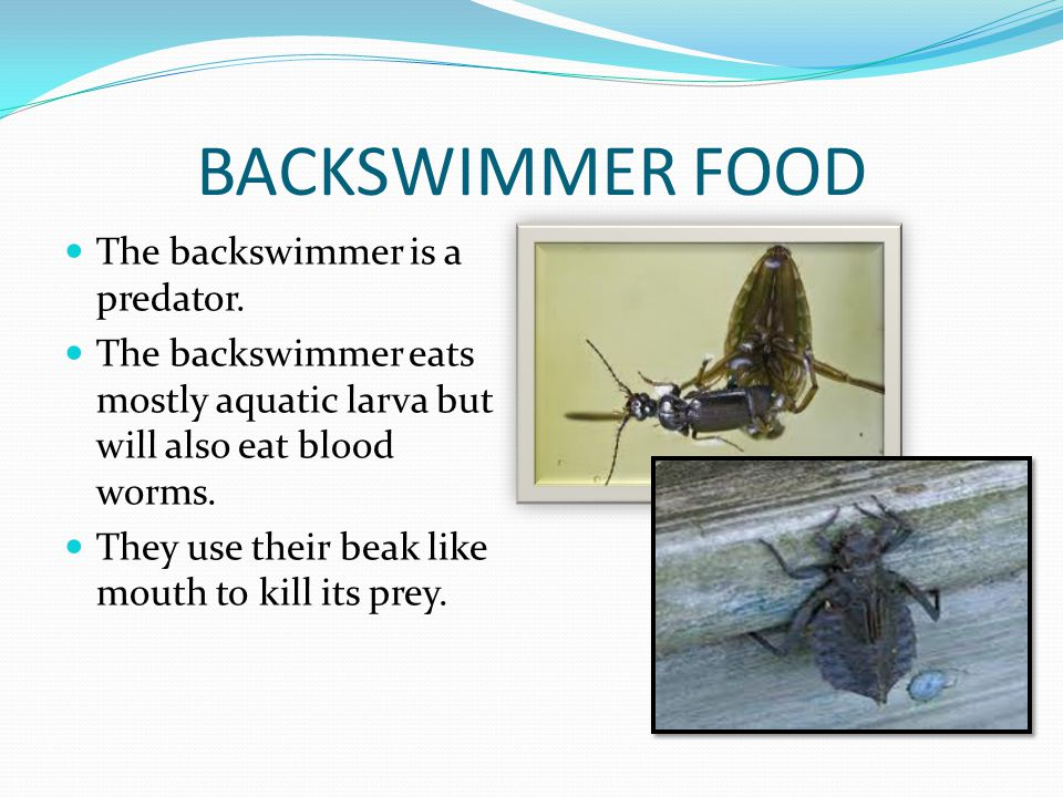 BACKSWIMMER FOOD The backswimmer is a predator. The backswimmer eats mostly aquatic larva but will also eat blood worms. They use their beak like mout