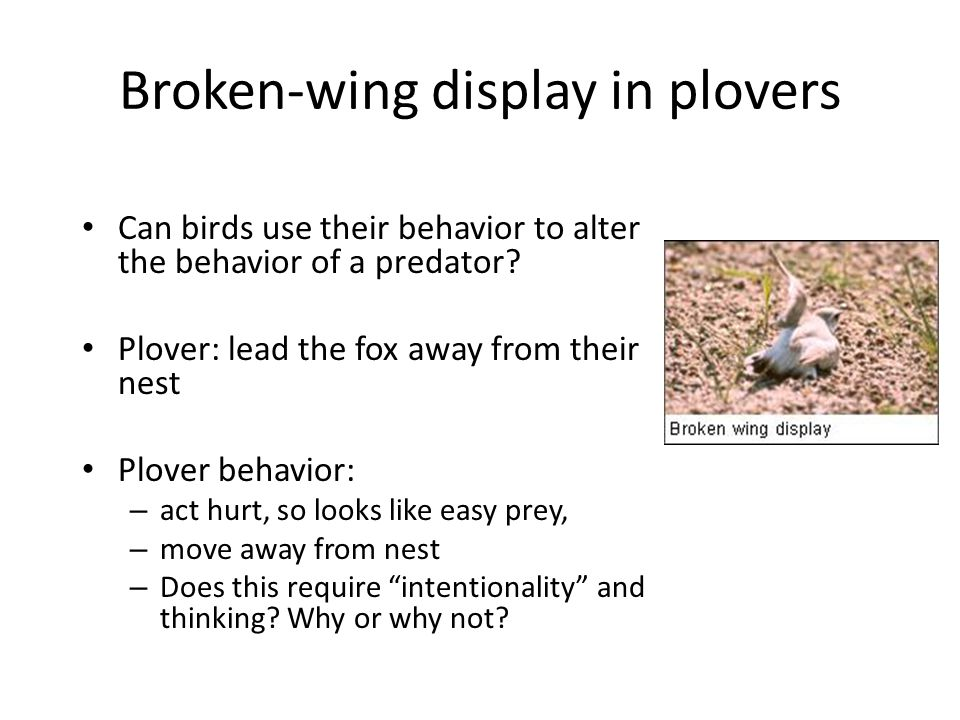 Broken-wing display in plovers Can birds use their behavior to alter the behavior of a predator? Plover: lead the fox away from their nest Plover beha