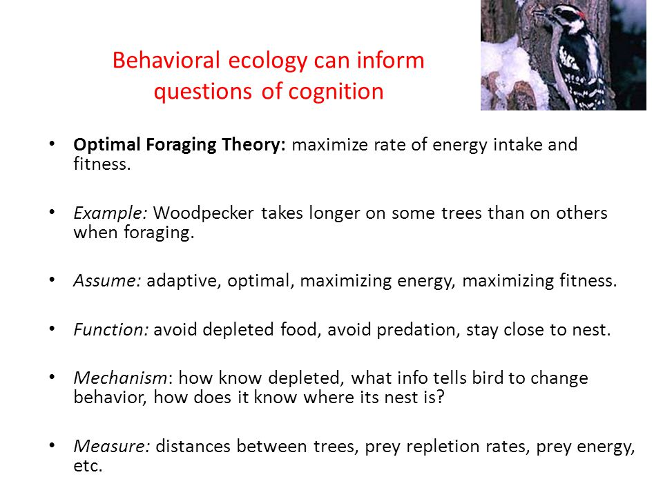 Behavioral ecology can inform questions of cognition Optimal Foraging Theory: maximize rate of energy intake and fitness. Example: Woodpecker takes lo