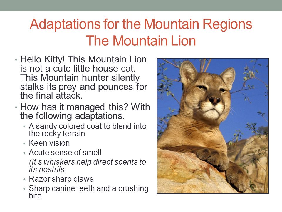Adaptations for the Mountain Regions The Mountain Lion Hello Kitty! This Mountain Lion is not a cute little house cat. This Mountain hunter silently s