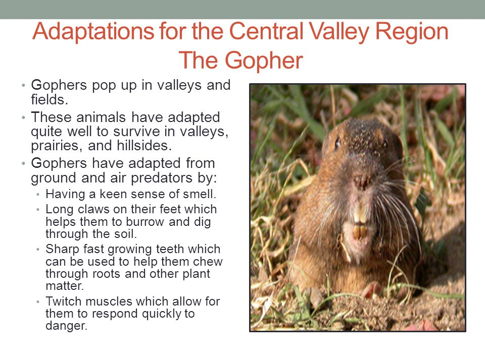 Adaptations for the Central Valley Region The Gopher Gophers pop up in valleys and fields. These animals have adapted quite well to survive in valleys